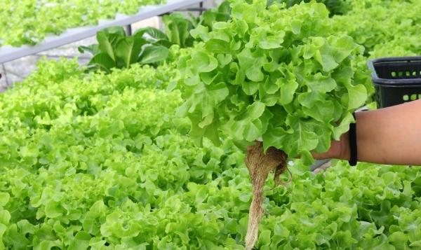 Aquaponics Presents A New Way To Grow Sustainable Fish And Veggies